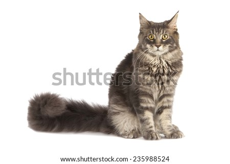 young Maine Coon cat isolated over white background - stock photo