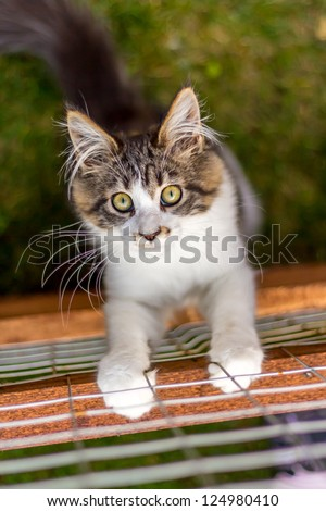 Young Maine Coon cat lurking on wooden board - stock photo