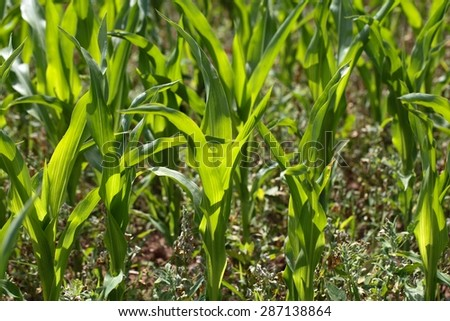 Young maize plants in a dry field in summer.
