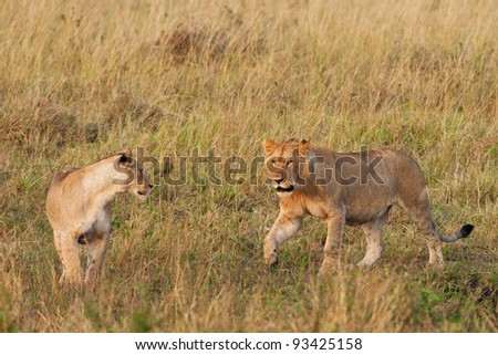 Young male African Lion and Lioness in the Maasai Mara National Park, Kenya