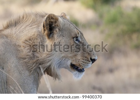 Young Male African Lion (Panthera leo), South Africa