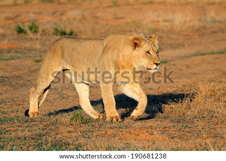 Young male African lion (Panthera leo) stalking, South Africa - stock photo