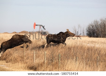 Young male and female moose leaping over barbed wire fence - stock photo