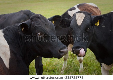 young male cattle - weaner or feeder calves - calf licking its lips - kissing cousins  - stock photo