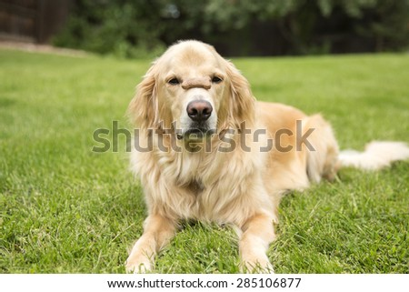 Young male Golden Retriever on green grass