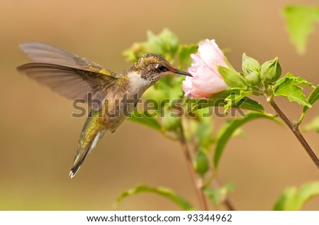 Young male Hummingbird in flight, feeding on a pink flower in fall garden - stock photo