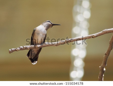 Young Male Hummingbird Perched on a Tree Limb - stock photo