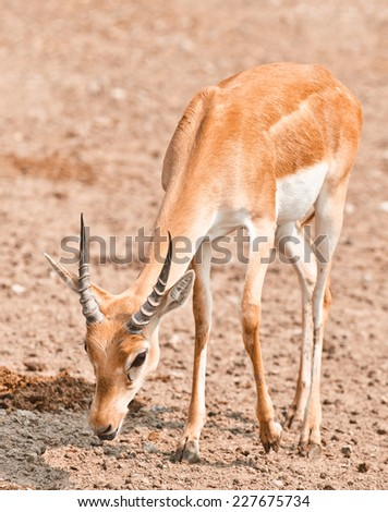 Young male impala antelope has come on watering place. - stock photo