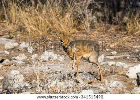 young male kirk's dik-dik antelope, smallest in the world, standing in the bush. Etosha National Park in Nambia, Africa