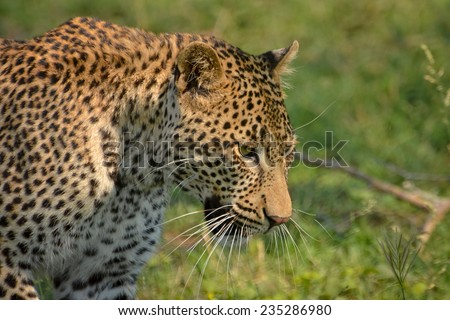 Young male leopard, Kruger National Park - stock photo