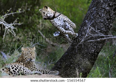 Young male leopard plays with dead mongoose while mother rests.