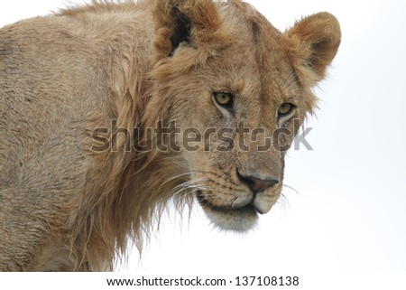 Young male lion against a white background - stock photo
