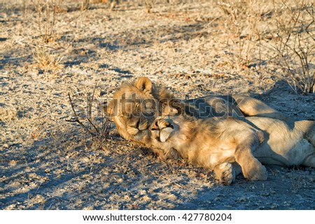Young male lion cuddling with sleeping father at sunset in Etosha National Park, Namibia