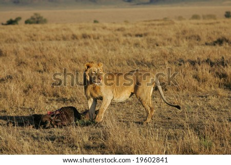 Young Male Lion Feeding on a Wildebeest