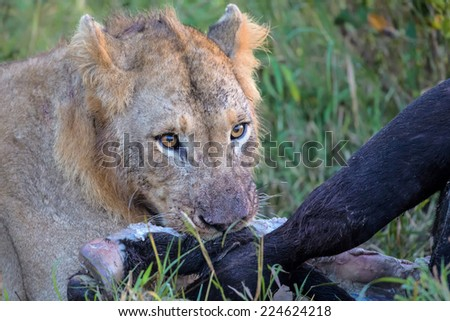 Young Male Lion feeding on dead buffalo carcass - stock photo