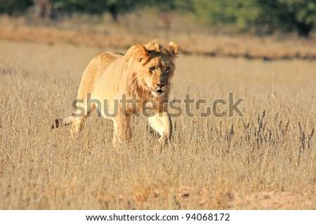 Young male lion in Kgalagadi Transfrontier Park in South Africa - stock photo
