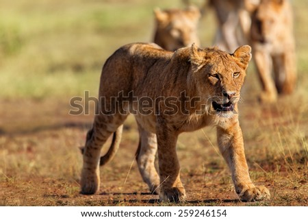 Young male Lion in the Serengeti, Tanzania - stock photo