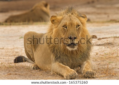 Young Male Lion in Zimbabwe - stock photo