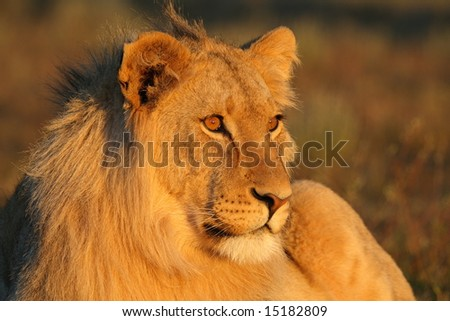 Young male lion looking into the sunset - stock photo