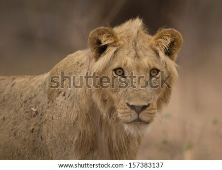 Young male lion (Panthera leo) staring at the camera