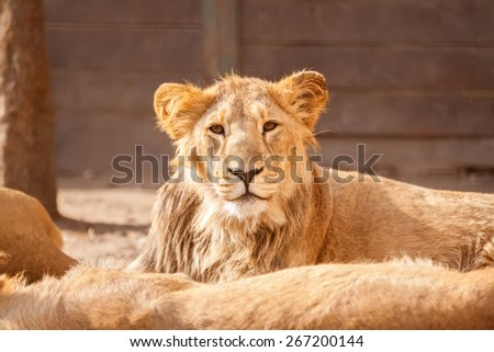 Young male lion resting on sun in herd - stock photo