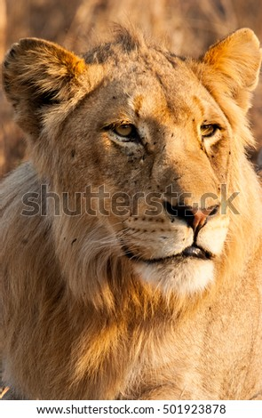 Young male lion, Sabie Sands Game Reserve, South Africa