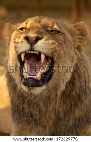 young male lion snarling with its mouth open