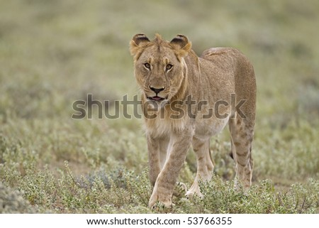Young male lion walking in green field; Panthera lion
