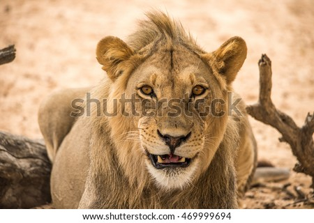 young male lion with a smile on its face looking directly ahead.