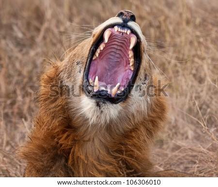 Young male lion yawning with big, sharp teeth - stock photo