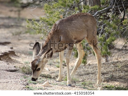 Young Male Mule Deer Feeds in the Pine Forest Near Grand Canyon - stock photo