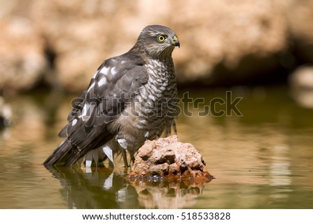 Young male of Eurasian sparrowhawk drinking and bathing in a water hole in summer. Accipiter nisus