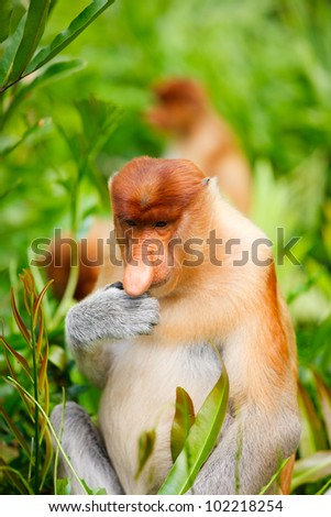 Young male proboscis monkey eating fresh green leaves