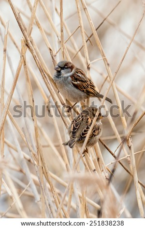 Young male sparrows (Passer domesticus) in a reed - stock photo