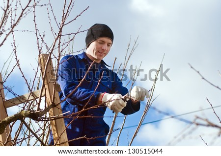 Young man pruning apricot brunches with the pruner using ladder