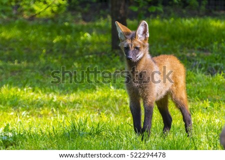 Young Maned Wolf