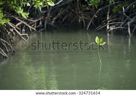 Young mangrove trees in forest at   Thailand. - stock photo