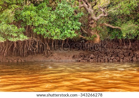 Young mangrove trees in forest Salim Ali Bird Sanctuary, Goa, India - stock photo