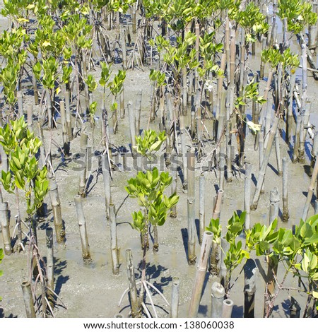 Young mangroves - stock photo
