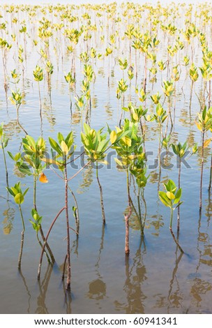 Young mangroves forest - stock photo