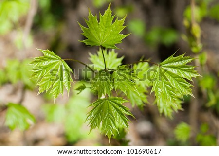 Young maple bush with fresh leaves of spring