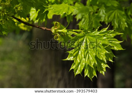 Young maple leaves on a sunny day