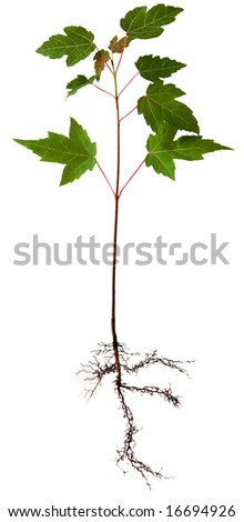 Young maple tree with root, isolated on white