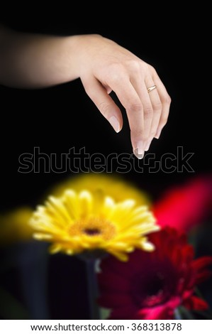 Young married woman hand with a golden ring above transvaal flowers in a black background - stock photo
