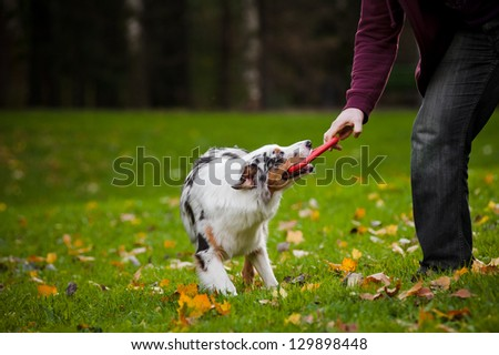 young merle Australian shepherd playing with man in autumn - stock photo