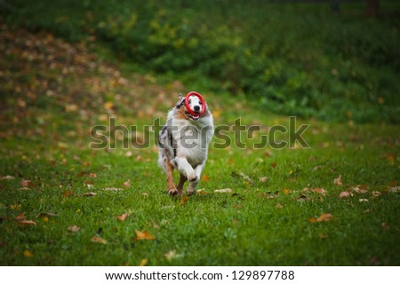 young merle Australian shepherd playing with toy in autumn - stock photo
