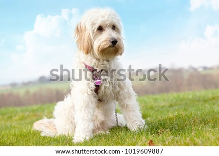 young mini golden doodle in the garden
