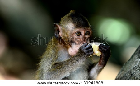 Young monkey eating fruit on the tree - stock photo