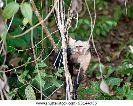 Young monkey in the jungle in Panama