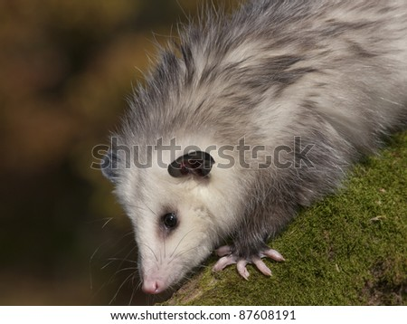 Young 8 month old Opossum on a moss covered log. He is at a wildlife rehab center unable to be released to the wild as he is imprinted on people. - stock photo